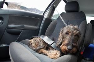 Autowäsche im Innenraum: Verschmutzungen können durch Haustiere oder Speisen im Kfz entstehen.